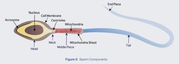 sperm tail